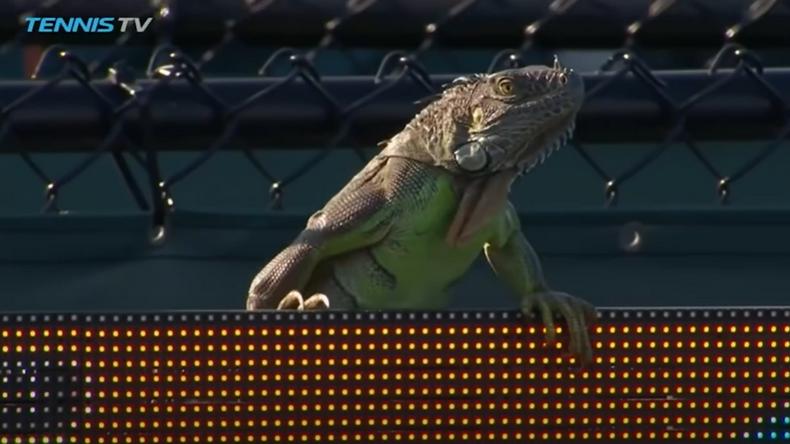 Cet iguane un peu trop curieux avait interrompu un match à Miami en 2017 entre Tommy Haas et Jiri Vesely.